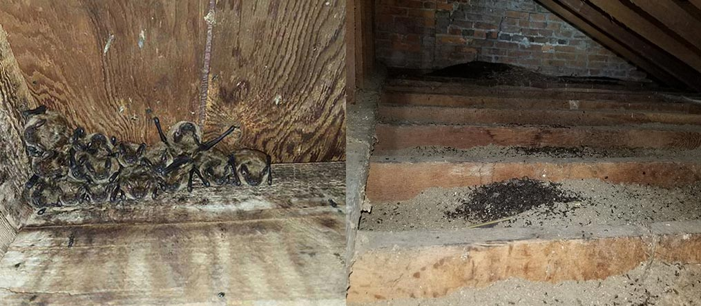 Bats leave bat guano and bat urine in your home. Hire Buckeye Wildlife Solutions NW Bat Removal Toledo Ohio Team.