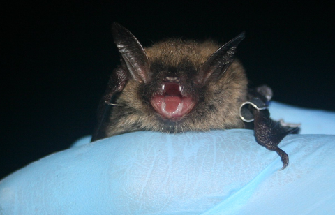 little brown bat. Thanks to U.S. Fish and Wildlife Service Headquarters, Public domain, via Wikimedia Commons