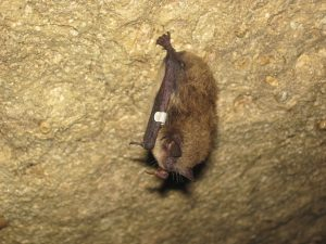 To get rid of bats in Toledo Ohio such as this little brown bat, call BRTO today!